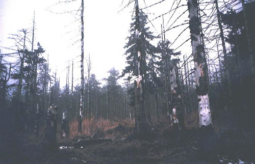 Dead forests in Krusne hory mountains, Czech Republic